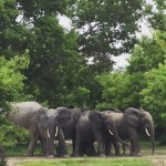Elephants at Mole National Park!